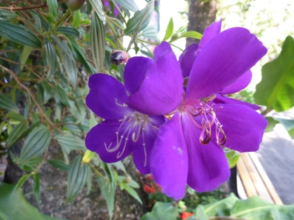 Glory Bush flower or Tibouchina